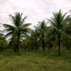"""coconuts ready to harvest_5 <a style=""""margin-left:10px; font-size:0.8em;"""" href=""""http://www.flickr.com/photos/47172958@N02/24375000795/"""" target=""""_blank"""">@flickr</a>"""