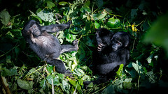Mother and baby mountain gorilla (Lil [Kristen Elsby]) Tags: africa travel nationalpark gorilla wildlife topv1111 uganda primate gorillas babygorilla travelphotography bwindi mountaingorilla bwindiimpenetrablenationalpark canon5dmarkii bikingi bikingigroup bikingifamily