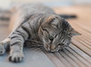 So cute! (infinitum Photography & Video Production) Tags: gato cat chat gatto infinitum infinitumstudio nikon d750 bidule tigrato grigio tigré gris grey tabby 85mm katze shallowdepthoffield minou minet