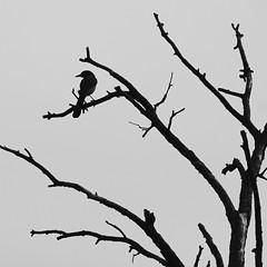 Western Scrub Jay Sillouette (hollykleindienst) Tags: bird sillouette westernscrubjay