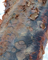 Acer griseum (Plant Image Library) Tags: trees winter plants plant ecology maple massachusetts january newengland bark acer trunk deciduous botany phenology paperbark griseum arboldarboretum