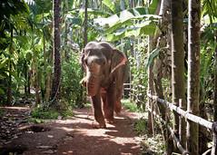 Elephant walking through (atitsince82) Tags: africa park wild india elephant water animal animals forest trek walking mammal zoo nationalpark wildlife ivory reserve safari national jungle bathing splash ranthambore tusk splashing
