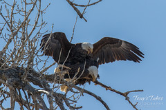 Bald Eagles copulating sequence - 15 of 28
