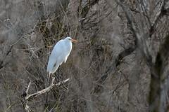 Ardea alba (Great Egret) (birdgal5) Tags: california nikon aves ardea egret greategret ardeidae d4 ardeaalba colusacounty sacramentonwr sacramentonationalwildliferefuge 80400mmf4556gvr nikond4 northofmaxwell eastofi5