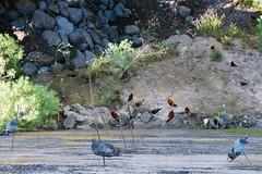 aeriel view   puerto de la cruz (John FotoHouse) Tags: color colour chickens birds animals flickr fuji pigeons tenerife canaries puertodelacruz johndolan dolan 2015 leedsflickrgroup johnfotohouse copyrightjdolan fujifilmx100s