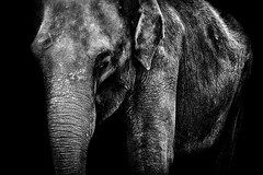 Elephant (Acero666) Tags: blackandwhite bw elephant art asian zoo darkart 2016 twycrosszoo sel70200g a7rii