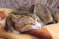 IMG_1747 (toetsu) Tags: pet cats sun animal cat kitten kittens belarus minsk