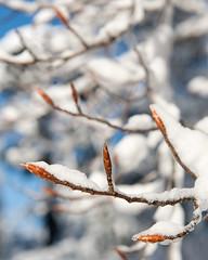 Fagus grandifolia (American Beech) (Plant Image Library) Tags: new winter england 6 plant tree nature ecology massachusetts arnold arboretum american buds february shrub botany beech dormant fagus grandifolia 20016