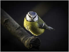 Who You Looking At? (cconnor124) Tags: nature naturalbeauty canoneos naturephotography bluetits littlebirds uknature awesomenature beautyofnature naturesgallery shieldofexcellence canon100400lens getintouchwithnature canon760d