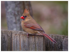Female Cardinal (jiroseM43) Tags: nature lumix cardinal panasonic 100300mm gh3 dmcgh3