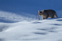 Le chat des neiges (sviet73) Tags: chat hiver neige flin