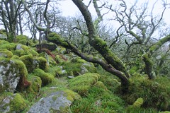(elisecavicchi) Tags: park wood uk england storm green rain forest moss haze stones south united kingdom growth devon grasses preserve dartmoor twisted gnarled wistmans
