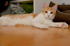 Gato Jinks  (16) (adopcionesfelinasvalencia) Tags: gato jinks