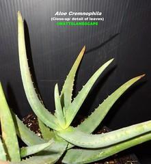 Aloe cremnophila (Pic #3 leaf detail/close up)