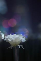 Light Rose Garden (marcohin) Tags: light hk rose canon garden hongkong 85mm led stm f18 ef 6d