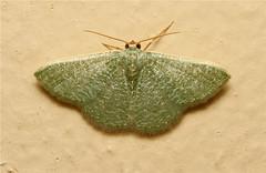 Geometrinae, Prasinocyma sp. - South Africa (Nick Dean1) Tags: insect southafrica moth lepidoptera arthropoda krugernationalpark satara arthropod hexapod insecta hexapoda