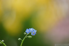 わすれなぐさ (勿忘草)/Myosotis scorpioides (nobuflickr) Tags: flower nature japan kyoto 日本 forgetmenot 花 myosotisscorpioides 勿忘草 thekyotobotanicalgarden waterforgetmenot 京都府立植物園 わすれなぐさ ムラサキ科ワスレナグサ属 20160214dsc01337