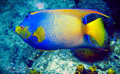 Vivid Angelfish (mikederrico69) Tags: angelfish fish marine life scuba diving marinelife ocean photography ruby5