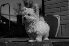 Neve. Snow. (omar.flumignan) Tags: bw dog animal cane canon puppy eos blackwhite ngc bn 7d maltese animale cucciolo ef24105f4lisusm allnaturesparadise