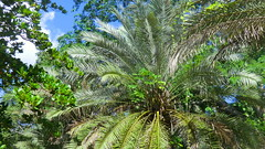Mexico - Chichn Itz; tropical Palms of Yucatan (Traveller-Reini) Tags: park tree america forest palms landscape mexico rainforest paradise outdoor natur pflanze yucatan chichenitza tropical caribbean amerika landschaft wald palme baum urwald middleamerica allnaturesparadise