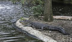 FloridaResident (pawel63) Tags: park wild nature zoo nikon aligator lowry