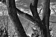 Tree Bark, Black and White (thefisch1) Tags: sky cloud white black tree monochrome lines nikon shapes fork hills bark kansas nikkor shape limb flint interesteing