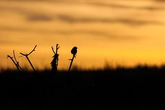 Becoming One With The Sunset (Elliot Tratt) Tags: trees sunset sea cloud sun tree bird nature sunshine birds silhouette clouds digital canon landscape eos coast seaside natural cloudy birding silhouettes coastal devon natures dawlish southdevon 400d