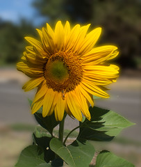 """Sunflower • <a style=""""font-size:0.8em;"""" href=""""http://www.flickr.com/photos/7605906@N04/25579099736/"""" target=""""_blank"""">View on Flickr</a>"""