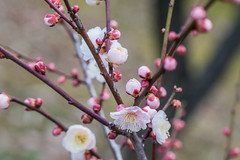 Higashiyama20160221e (FJK80046) Tags: flower plum  ume  aichi   higashiyama   higashiyamabotanicalgarden
