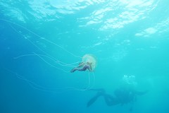 Being chased (Wim Bollein) Tags: blue sea roses water jellyfish mediterranean sony scuba diving diver ikelite rx100mii