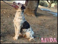 Linda 3 (santuariolacandela) Tags: españa spain linda femaledog adoption mestiza hembra fosterhome acogida adopción cabezalavaca santuariolacandela