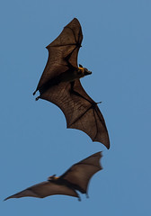 Fruit bats (Chalto!) Tags: holiday asia bat srilanka ceylon flyingfox fruitbat indianflyingfox cynopterussphinx greatershortnosedfruitbat shortnosedindianfruitbat thalawawulaa