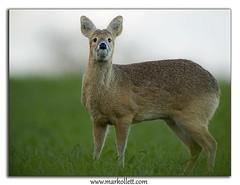 Chinese Water Deer (Mark Ollett) Tags: norfolkbroads cwd springwatch chinesewaterdeer nikond4s