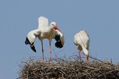 Storchenpaar (frodul) Tags: bird deutschland nest outdoor wildlife natur paar hannover ni horst stork vogel storch flgel frhjahr ciconiaciconia federkleid weisstorch