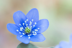 Pastel blue star (nemi1968) Tags: flowers blue flower macro oslo norway closeup canon petals spring stem bokeh outdoor pastel ngc petal npc stems april bygdy markiii pastelcolours anemonehepatica canon5dmarkiii ef100mmf28lmacroisusm