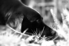 Helios 44M (Chris Johnston Photography) Tags: pets dogs labrador sunny buddy retreiver