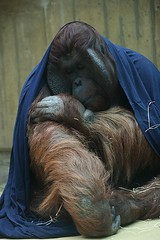 Orang Oetan (tasj) Tags: zoo ouwehandsdierenpark