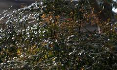 IMG_6730.CR2--Nandina Domestica (jalexartis) Tags: spring shrub shrubbery nandina newgrowth nandinadomestica tenderleaves