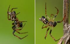 "Two shots of a tiny male ""Trash Line Weaver"" (Cyclosa, Araneidae) (Treebeard) Tags: california male spider santabarbaracounty sanmarcospass araneidae cyclosa palp trashlineweaver"