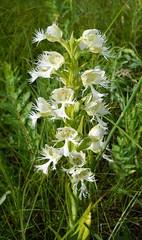 Western Prairie Fringed Orchid (Platanthera praeclara) (John Scholze) Tags: orchid north national western fringed prairie grassland dakota platanthera threatened sheyenne praeclara
