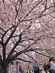 Sakuras in bloom (mj.fotography) Tags: travel holiday japan tokyo fuji escape olympus wanderlust mountfuji omd kawaguchiko