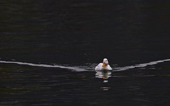 Canard mignon - IMG_2410 (6franc6) Tags: annecy lac nb avril 74 hautesavoie 2016 rhonealpes 6franc6