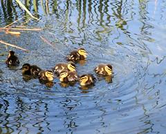 BANYOLES (Joan Biarns) Tags: lago patos llac banyoles estany canon7d