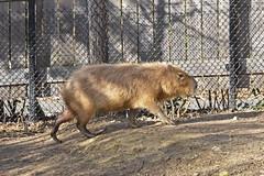 2016.02.19.059 PARIS - Zoo  - Guyane - Capybara (alainmichot93) Tags: paris france seine zoo ledefrance capybara 2016 rongeur zoodevincennes parczoologiquedeparis