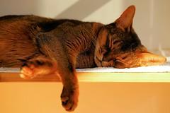 Lizzie in color (DizzieMizzieLizzie) Tags: portrait beautiful cat wonderful chats feline sony lizzie gato siesta meow katze abyssinian gatto katzen a7 kot katt aby pisica mirrorless dizziemizzielizzie
