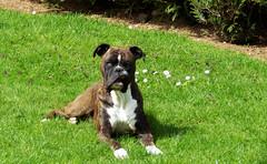 Boxer ( photopade (Nikonist)) Tags: chien ami boxer