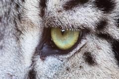 Eye of the snow leopard (Cloudtail the Snow Leopard) Tags: snow macro eye cat big feline leopard katze makro auge panthera raubkatze schneeleopard irbis uncia groskatze