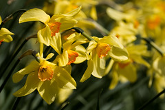 Yellow (Keith in Exeter) Tags: uk flowers england orange nature yellow garden spring blossom outdoor devon daffodil gb narcissi killerton