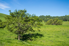 Tree - Rolling Hills Open Space Park - Solano County - California - 26 March 2016 (goatlockerguns) Tags: california park county trees usa mountains west tree nature coast oak open natural space unitedstatesofamerica vacaville hills trail bayarea eastbay solano rolling fairfield vaca
