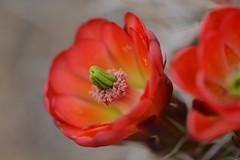Cactus Flower (Heike Grodecki) Tags: red cactus macro desert bloom cactusflower